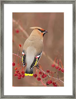 Waxwing In Winter Framed Print