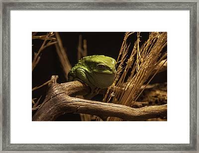 Waxy Monkey Tree Frog Framed Print by Garry Gay