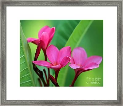 We Three Plumeria Framed Print by Sabrina L Ryan