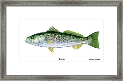 Weakfish Framed Print