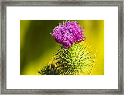 Wearing A Purple Crown - Bull Thistle Framed Print