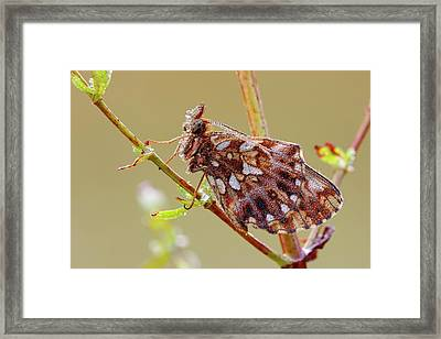 Weavers Fritillary Framed Print by Heath Mcdonald