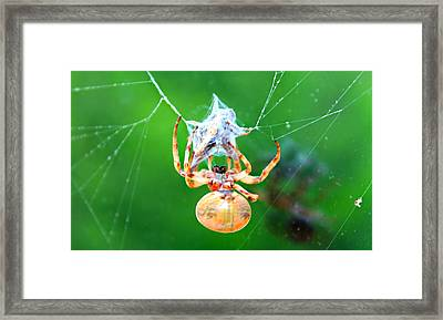Weaving Orb Spider Framed Print by Candice Trimble