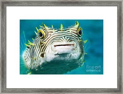 Web Burrfish Framed Print