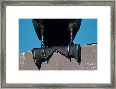 Webbed Feet Of A Cormorant Framed Print by Mark Newman
