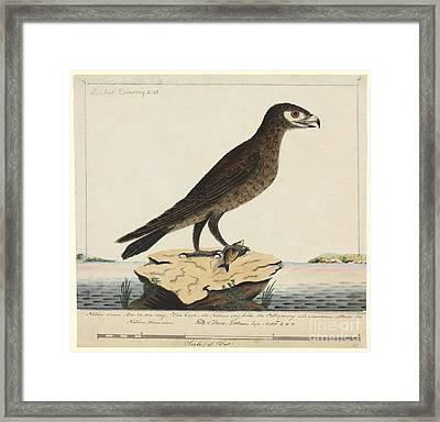 Wedge-tailed Eagle, 18th Century Framed Print by Natural History Museum, London