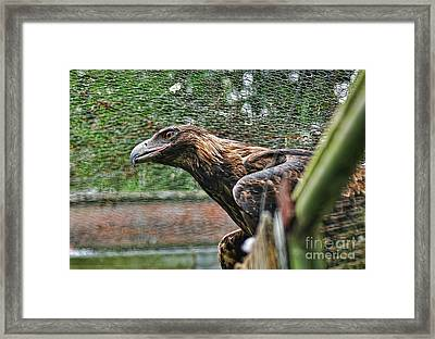 Wedge-tailed Eagle By Kaye Menner Framed Print by Kaye Menner