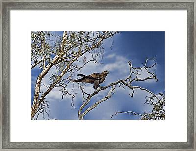 Wedge Tailed Eagle Framed Print by Douglas Barnard