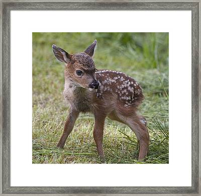 Wee Little Bambi Framed Print by Tracey Levine