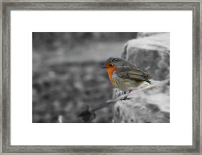 Wee Robin Framed Print