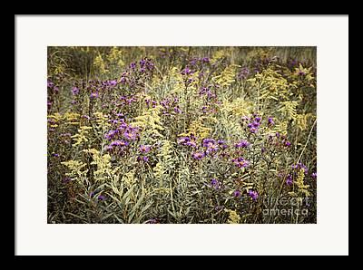 Goldenrod Framed Prints