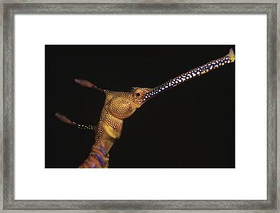 Weedy Seadragon Australia Framed Print by Becca Saunders