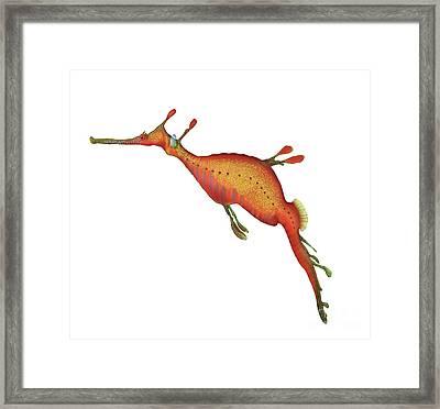 Weedy Seadragon Phyllopteryx Taeniolatus Framed Print by Carlyn Iverson