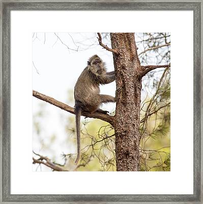 Weeper Capuchin Framed Print by Photostock-israel