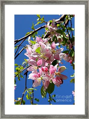 Weeping Cherry Tree Blossoms Framed Print by Carol Groenen