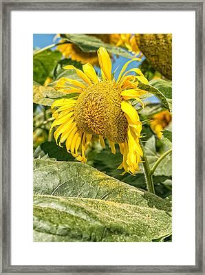 Weeping Sunflower Framed Print