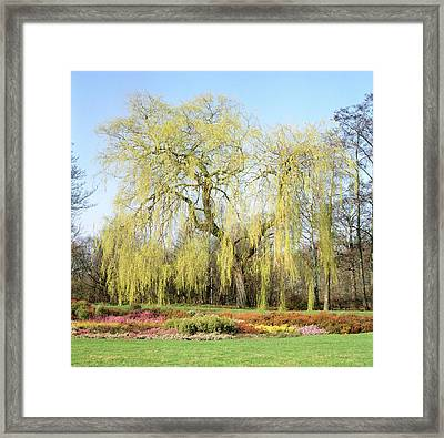 Weeping Willow Tree Framed Print by Anthony Cooper/science Photo Library