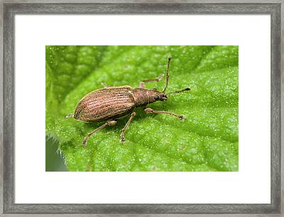 Weevil Framed Print