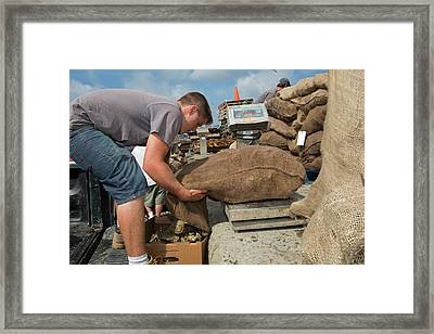 Weighing Harvested Oysters Framed Print