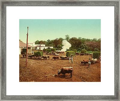 Weighing Sugar Cane Framed Print