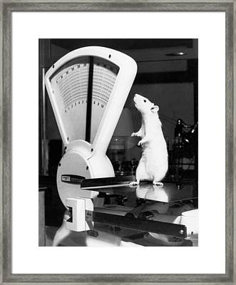 Weight Watcher Lab Rat Framed Print by Underwood Archives