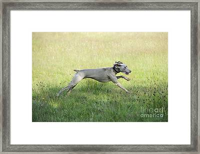 Weimaraner Dog Running Framed Print