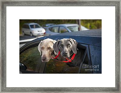 Weimaraner Dogs In Car Framed Print