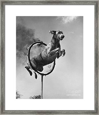Weimaraner Jumping Through A Ring Framed Print