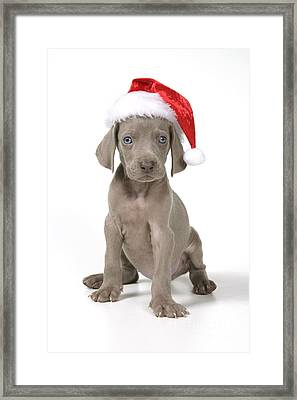 Weimaraner With Christmas Hat Framed Print by John Daniels
