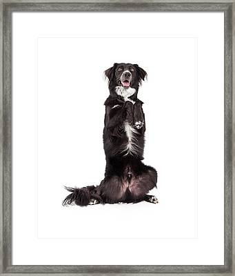 Well Trained Border Collie Mix Breed Dog Begging Framed Print