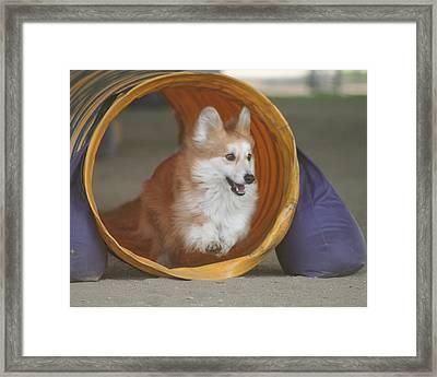 Pembrook Corgi Dog Agility Framed Print by Lisza Anne McKee