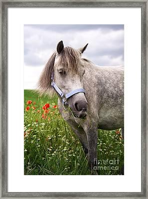 Welsh Pony Lulu Framed Print