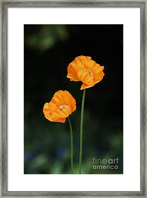 Welsh Poppy Flowers Framed Print by Tim Gainey