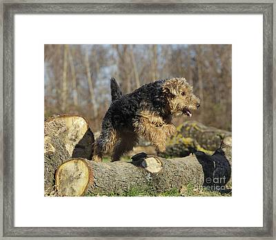 Welsh Terrier Jumping Framed Print