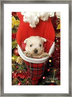 West Highland Terrier At Christmas Framed Print by Jean-Michel Labat