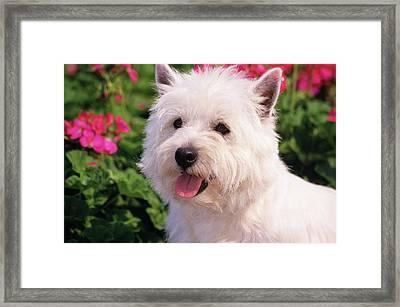 West Highland Terrier Head Shot Framed Print