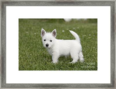 West Highland White Terrier Puppy Framed Print by Rolf Kopfle