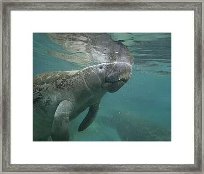 West Indian Manatee Crystal River Framed Print by Tim Fitzharris