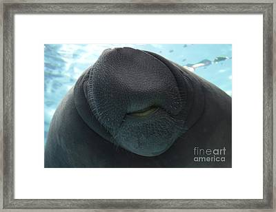 West Indian Manatee Smile Framed Print