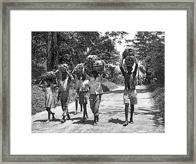 West Indies Banana Harvest Framed Print by Underwood Archives