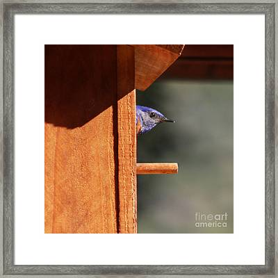 Framed Print featuring the photograph Western Bluebird At Nest by Bob and Jan Shriner