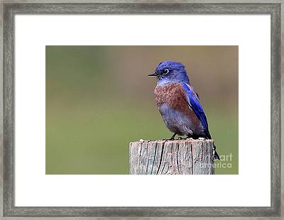 Western Bluebird Framed Print by Marty Fancy