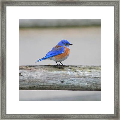 Western Bluebird Perching Framed Print by Bob and Jan Shriner