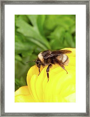 Western Bumble Bee Framed Print by Stephen Ausmus/us Department Of Agriculture