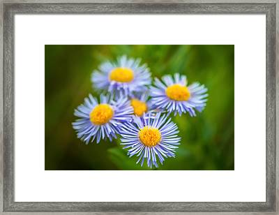 Western Daisies Asters Glacier National Park Painted Framed Print by Rich Franco