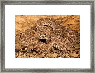 Western Diamondback Rattlesnake. Framed Print by John Bell