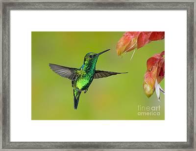 Western Emerald Hummingbird Framed Print by Anthony Mercieca