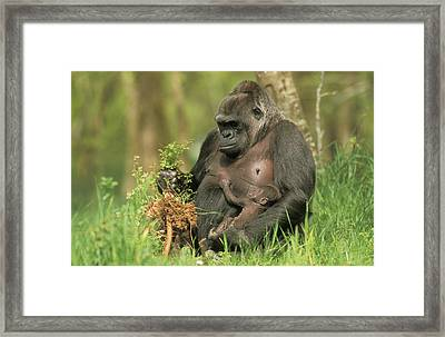 Western Gorilla And Young Framed Print by M. Watson