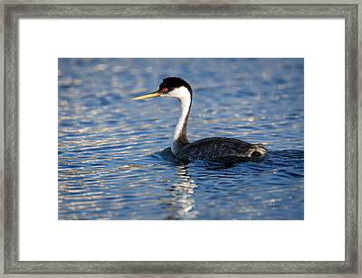 Framed Print featuring the photograph Western Grebe by Jack Bell