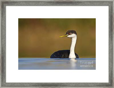 Framed Print featuring the photograph Western Grebe On The Lake by Bryan Keil